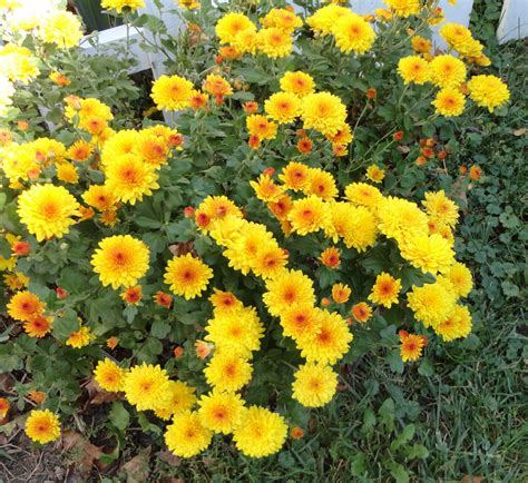 how do mums live gold button mum chrysanthemum 1 live plant division gemsandstems info