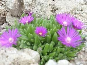 Mediterrane Pflanzen Winterhart : delosperma mittagsblume winterhart pflege berwintern ~ Frokenaadalensverden.com Haus und Dekorationen