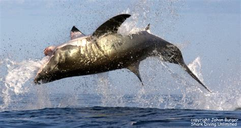 Fishing Boat Attacked By Shark South Africa by White Shark Breaching Trips Gansbaai Breaching Shark