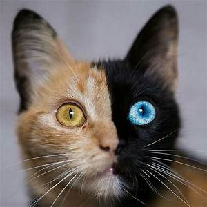 Chimera Cat : pics