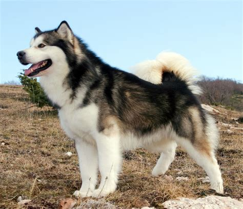 The Alaskan Malamute Things To Know 2019