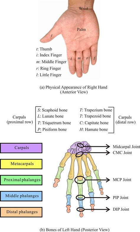 Human Wrist Hand Physical Appearance Right