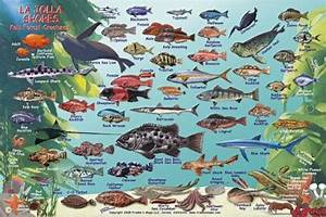 La Jolla Shores Map & Kelp Forest Creatures Guide Franko ...