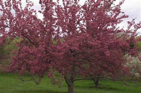 how to prune a crabapple tree how to prune a flowering crabapple tree 171 margarite gardens