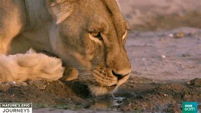 Lion Giphy Gifs Animals Africa Bbc Funny