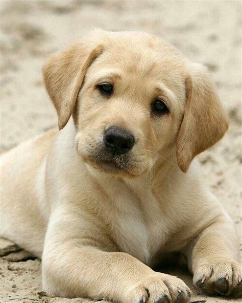 labs  big barker dog beds playful labrador retrievers