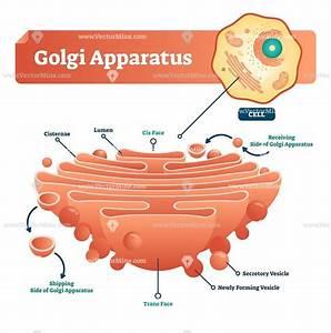 Golgi Apparatus Biological Vector Illustration Diagram
