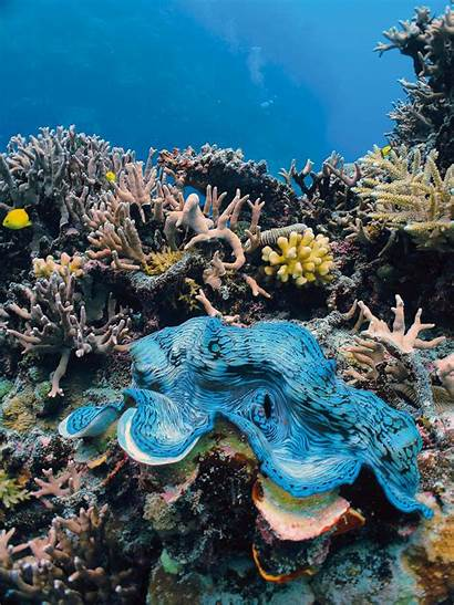 Giant Reef Barrier Clam Coral Clams Australia