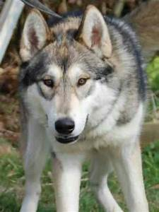Breeds of dogs that look like wolves