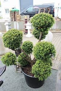 Baum Im Topf : bonsai eibe taxus baccata japan f r japangarten ~ Michelbontemps.com Haus und Dekorationen