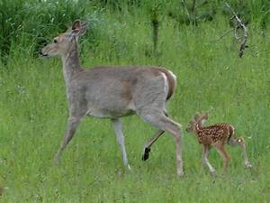 White-tailed Deer doe with newborn | Flickr - Photo Sharing!