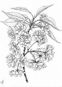 Dessin Fleur De Cerisier Japonais Noir Et Blanc : arbres cerisier du japon fleurs doubles prunus serrulata ~ Melissatoandfro.com Idées de Décoration