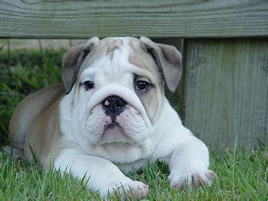cute puppy dogs  english bulldog puppy