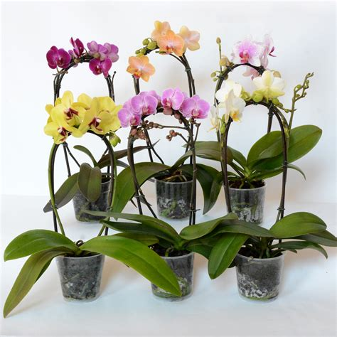 caring for phalaenopsis orchids after flowering phalaenopsis orchid life is a garden