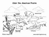 Prairie Coloring Habitat Animal Habitats Animals Biome Biomes Grassland Exploringnature Map Worksheet Science Printable Desert Draw Plants Grasslands Sheets Nature sketch template