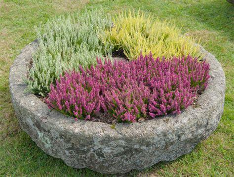 erika winterhart kaufen erika pflanze winterhart erica gracilis sommererika