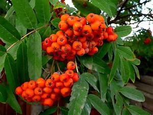 Exotische Früchte Im Eigenen Garten : eberesche im garten tipps zu anpflanzen pflege verwendung ~ Lizthompson.info Haus und Dekorationen