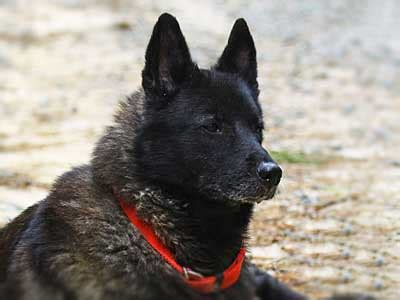 black norwegian elkhound information characteristics