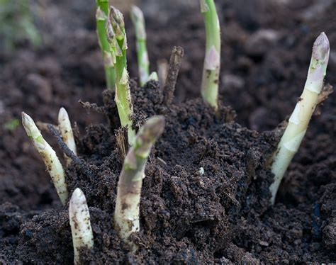 growing asparagus growing asparagus bonnie plants