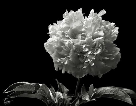 Fluffy Peony In Black And White Photograph By Endre Balogh