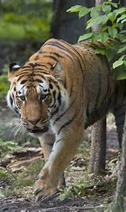 New Amur Tiger Exhibit Opened to Public at John Ball Zoo ...