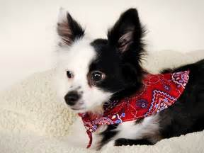 small dogs that dont shed photograph toy dog breeds that