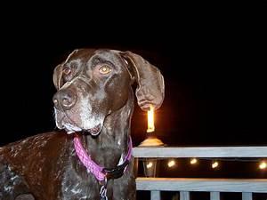 Hematoma in the night - GSP | Olive shows her cauliflower ...