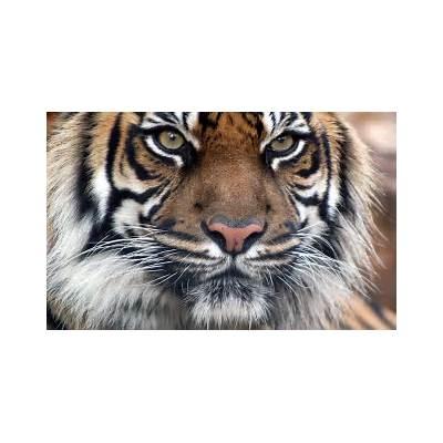 Bengal Tiger WallpapersAnimals Library