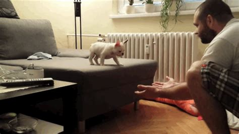 adorable frenchie puppy jumping   couch