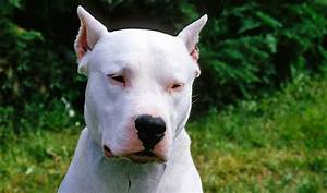 Dogo Argentino Breed Information