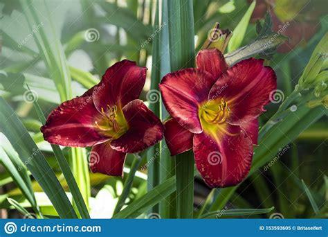 foto de Luxury Flower Daylily Hemerocallis Wayside King Royale In