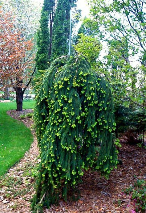 Garten Pflanzen Bäume by Haengebaeume Garten Fichte Fruechte Gruen Nadelbaum