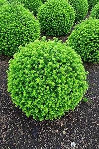 Pflanzen Für Japangarten : japanische h lse ilex crenata twiggy kugel 45 50 cm mit ballen ~ Sanjose-hotels-ca.com Haus und Dekorationen