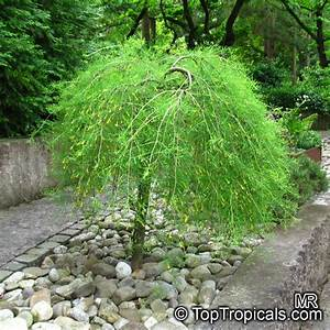 Caragana Arborescens Siberian Peashrub