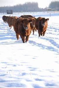 5 Tips for Beef Cow Herd Winter Supplementation – BioZyme Inc