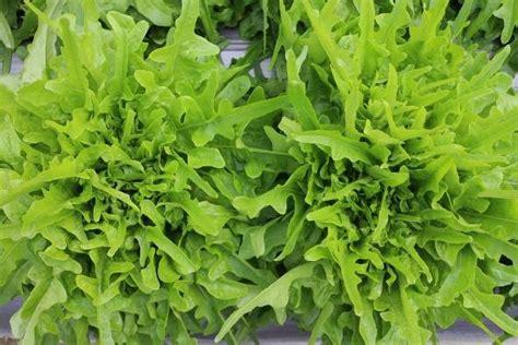 selada lettuce chris green gr lettuce chris green known you seed