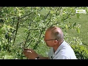Comment Tailler Un Pommier : comment tailler un pommier d 39 ornement youtube ~ Dode.kayakingforconservation.com Idées de Décoration