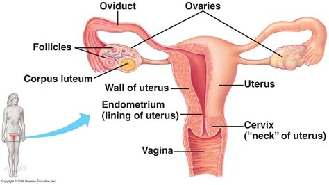 female internal reproductive system diagram