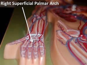 Right Superficial Palmar Arch