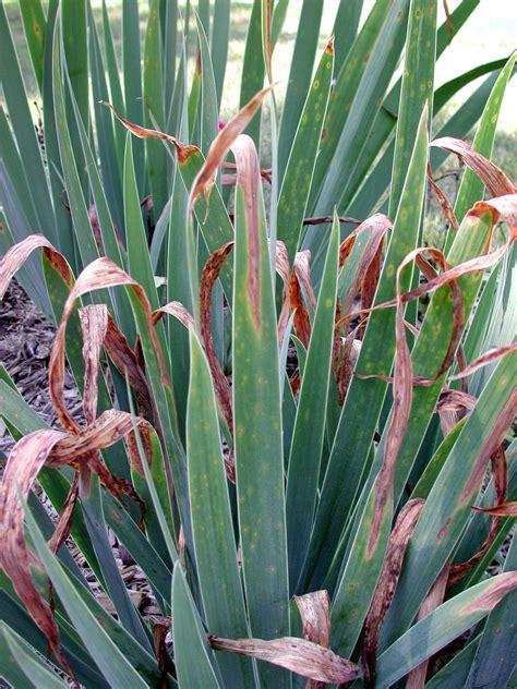 Didymellina leaf spot - Plant & Pest Diagnostics