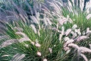 Dahlien überwintern Topf : pampasgras im k bel ziehen so pflegen sie es richtig ~ Orissabook.com Haus und Dekorationen