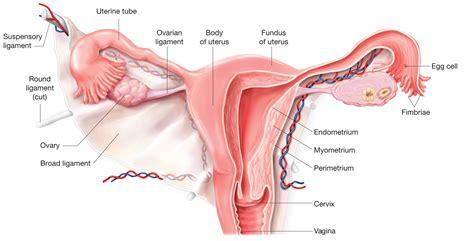The uterus | Anatomy of the uterus | Physiology of the ...