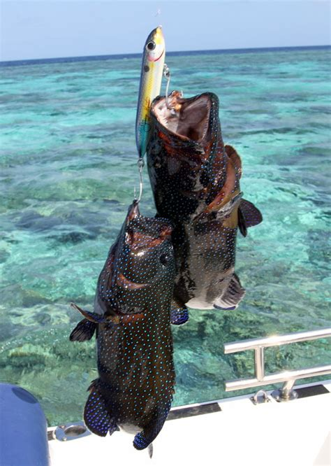 grouper catch reef barrier fishing groupers caught species spook enlarge below pages pic these howtocatchanyfish