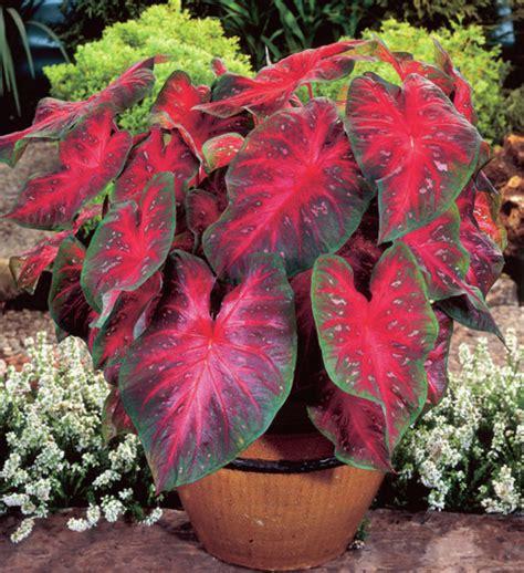 budidaya tanaman keladi hias red star tanaman hias