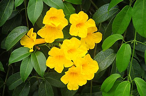 yellow flower vines pictures pictures of flowers yellow trumpet vine