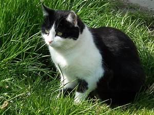 Weißer Wurm Katze : file unternehmungslustiger schwarz wei er kater jpg wikimedia commons ~ Markanthonyermac.com Haus und Dekorationen