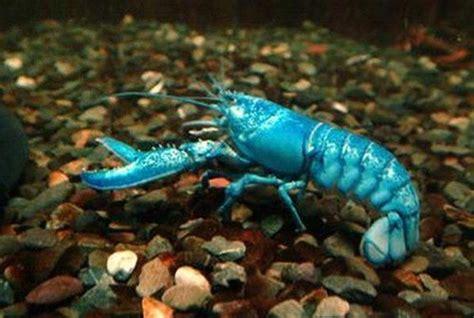articles de poissons22120 tagg 233 s quot l 233 crevisse d eau douce quot poissons skyrock