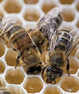 Wie Machen Bienen Honig : ringsheim enzyme machen aus zucker honig badische ~ Whattoseeinmadrid.com Haus und Dekorationen