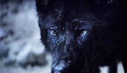 Wolf Werewolf Fierce Pack Phoenix Eyes Obsessions