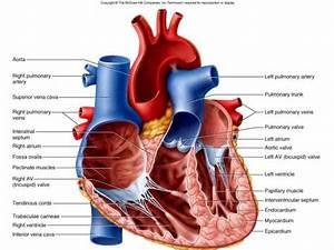 Interior Of The Heart Diagram
